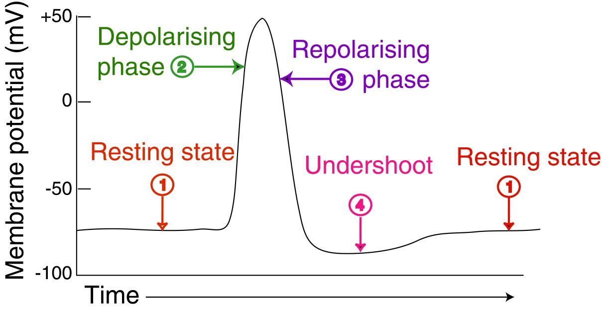Затем в конце потенциала действия мембрана реполяризуется.  После некоторой задержки длительностью в миллисекунды или...